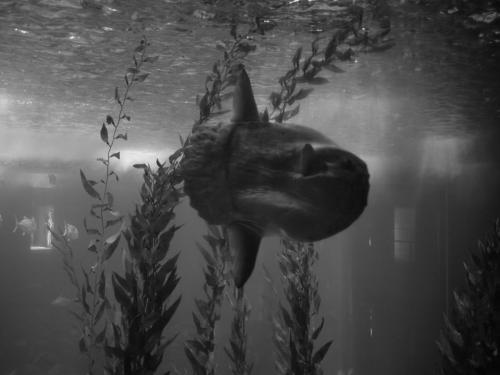 Sunfish aka Bob